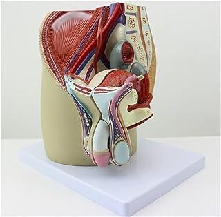 3 أجزاء ذكر الحوض التشريحية نظام الأعضاء التناسلية الذكور العضو التناسلي القضيب تشريح نموذج التعليم الطبي