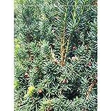 Fruchtende Bechereibe Eibe Taxus media Hicksii 60-80 cm. Angebot: 10-150 Heckenpflanzen. Weibliche Eibe Konifere. Schnittverträglich, immergrün und winterhart. Immergrüne Eibenhecke   Inkl. Versand