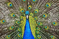 LHJOY 500ピースのジグソーパズル鳥の孔雀の動物子供たちの女の子のための誕生日プレゼントとホリデーギフト 52x38cm
