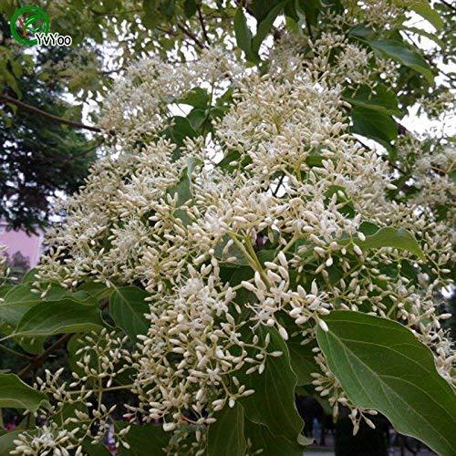 Tout neuf! Comus wilsoniana Graines Bonsaï Graines Accueil décoration Jardin 30 particules/graines de sac d'espoir