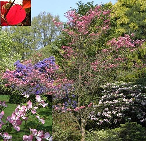 Cornus florida Rubra - Roter...