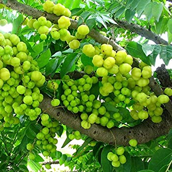 Plantsguru Amla (small size fruit) Rai amla, Indian Goosberry ...
