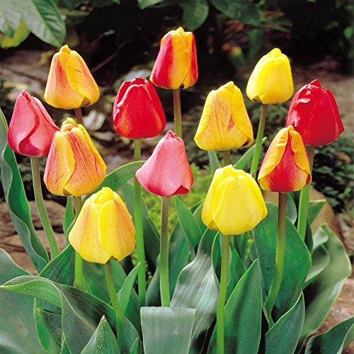 Darwin Hybrid Tulpenmischung - 50 blumenzwiebeln