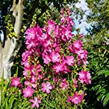 Präriemalve 'Starks Hybriden' 20 Samen, Sidalcea Malviflora- mehrjährige