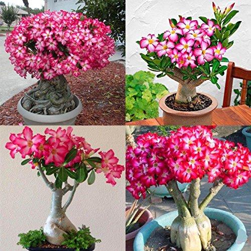 Acecoree Samen- Raritäten Wüstenrose Samen(Adenium obesum) Sukkulenten Samen Blumensamen Rose Saatgut winterhart mehrjährig für Terrasse/Balkon/Garten