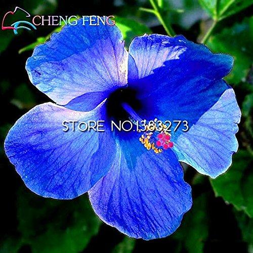 Sur HIBISCUS rosa-sinensis fleur arbre graines d'hibiscus de bonsaï graines Hibiscus Vente pour les plantes fleurs de chambre en pot *