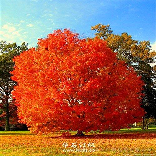 roja de la herencia 5pcs Semillas Semillas Semillas de roble árbol bonsai semillas Quercus Alba bellotas planta de interior G93 de bricolaje en casa gardern