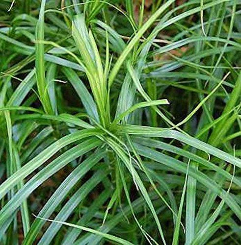 Palmwedelegge - Carex muskingumensis