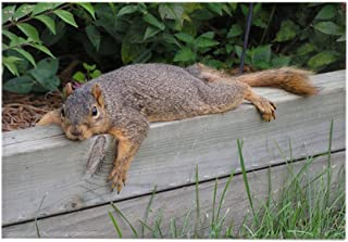 CafePress Laying squirrel Rectangle Magnet Rectangle Magnet, 2