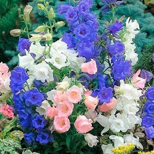 Semillas de Flores Paisaje para,Semillas de Flores de la campánula enverdecimiento Exterior Plantas de Interior en Maceta-Cosmos 1000,perennes Semillas de Flores