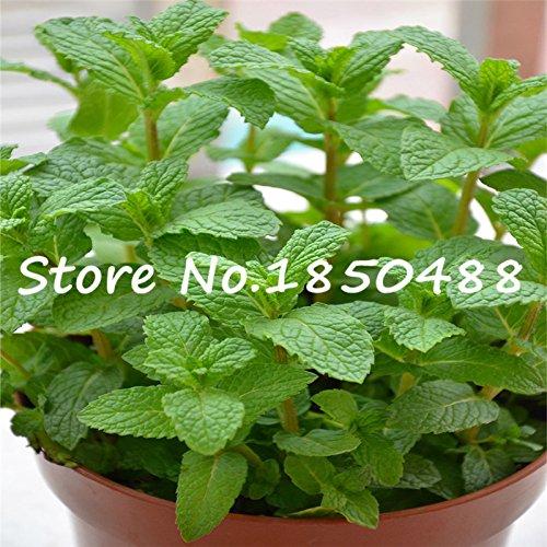 graines de plantes du feuillage Mentha citrata, mélisse à base de plantes, graines de menthe citron, environ 100 particules