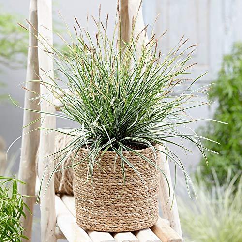Carex oshimensis'Everest' | Gold Segge |...