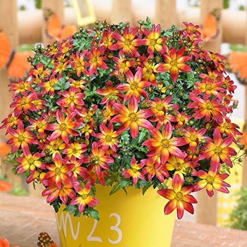 AIMADO Samen-Rarität 100 Pcs BeeDance 'Fire Wheel' Bidens Samen Bienenfreundlich Blumensamen Zweifarbige Bidens-Sorte Bonsai Samen für Balkon&Terrassenpflanze, Kübelpflanze