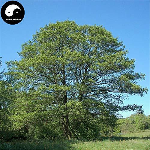 Elitely Alnus Cremastogyne Baum Semente 240 Stcke Samen Erle Baum Fr Qi Mu Shu