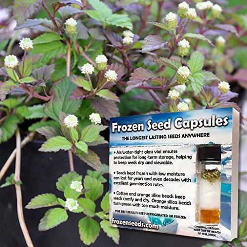 Mayan Mint Seeds (Lippia dulcis) 20+ Rare Medicinal Herb Seeds + FREE Bonus 6 Variety Seed Pack - a $29.95 Value! Packed in FROZEN SEED CAPSULES for Growing Seeds Now or Saving Seeds for Years
