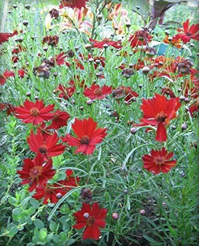 ZCH NIFER Supplies for 50 Mahogany Midget Coreopsis Tinctoria Red Dwarf Flower Seeds + Gift & Comb S/H