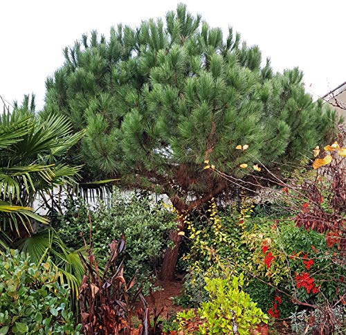 Future Exotics Pinie Pinus pinea Pflanze Mittelmeer Kiefer Schirmkiefer winterhart
