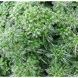 2er-Set - winterhart - Klärpflanze! - Hottonia palustris