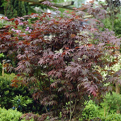 YouGarden Acer Palmatum Atropurpureum Plant, 3 Litre Pot