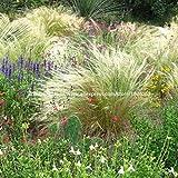 100 Stück Mischfarbe Schwingel Gras Bonsai - (Festuca glauca) Ziergras Gras wächst einfach für zu Hause Gartendekoration B48