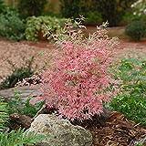 Qulista Samenhaus - Rarität Fächerahorn Mix Gelbgrün/leuchtend rot/Rosa | 20pcs Bonsai Baum Saatgut winterhart mehrjährig in Steingärten, an Teichen und in japanischen Gärten