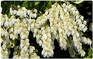 pieris little heath