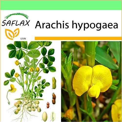 SAFLAX - Garden to Go - Erdnuß - 8 Samen - Mit Tontopf, Untersetzer, Anzuchtsubstrat und Dünger - Arachis hypogaea