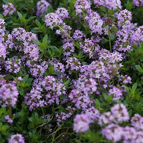 Blumixx Stauden Thymus longicaulis ssp.odoratus - Kaskaden-Thymian