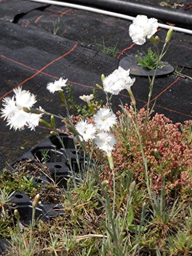 Dianthus plumarius fl. pl. Albus - Gefüllt blüh. weiße Federnelke, 6 Pfl. im 5/6 cm Topf