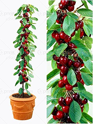 20pcs / sac de graines de fruits bonsaï cerise douce Sylvia Upright cerise Autofertile graines d'arbres nains pot jardin maison