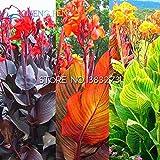 Shopmeeko 10 Stück Canna Pflanzen Schöne Blume Pflanzen Mix Indica Lilie Pflanzen Garten Lampen Blumen Outdoor Topf Bonsai Flores. Hauptgeschenk: Hellgrau