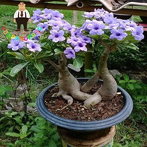 YOUPANGPANG Gratis Verzending 2 stks Regenboog Woestijn Rose Planten Bonsai Adenium Obesum Planting Bonsais voor Thuis…