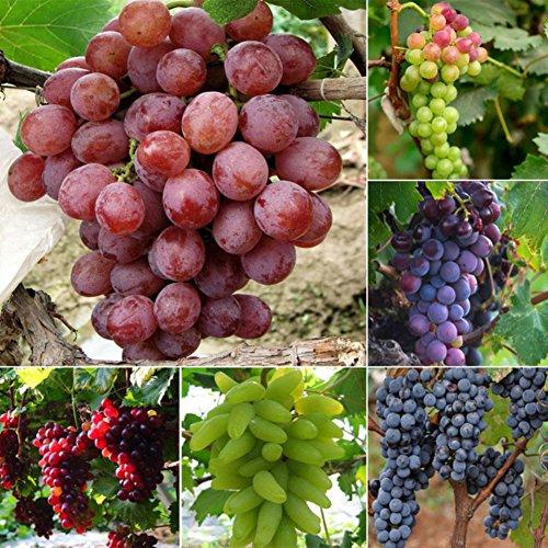 Zhouba Traubenkerne für Hof, Gartenpflanze, gemischte Traubenkerne, köstliche frische Früchte, Garten, Baumpflanzen, Dekoration, 50 Stück