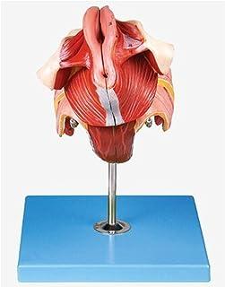 الإناث المهبل الرحم الجهاز التناسلي نموذج التشريحية الأوسط قسم الأجهزة الحوضية الإناث الأعشاب