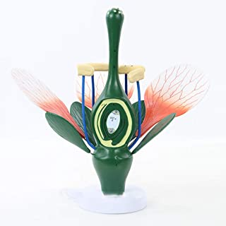 教育モデルの6倍の拡大桃モデルは双子葉植物の典型的な構造を示しています-緑の植物のおしべと雌しべ