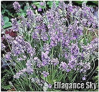 Best lavandula angustifolia ellagance sky Reviews