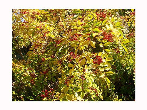 Rare gros fruits SECHUAN Pepper Plant Zanthoxylum bungeanum Herb Hardy Arbuste