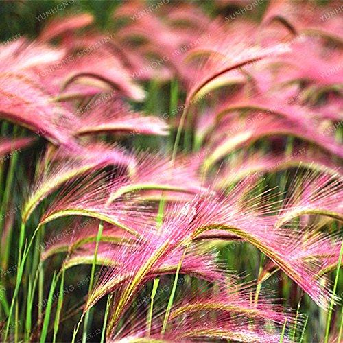 Les graines fraîches 2000 - Hordeum jubatum graminée Graines
