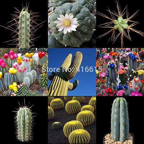 PREMIUM CACTUS COLLECTION - LES MONDES Rarest & GRANDES CACTUS Succulentes 105 GRAINES 10 VARIÉTÉS Boule Feuillage Cactus Graines