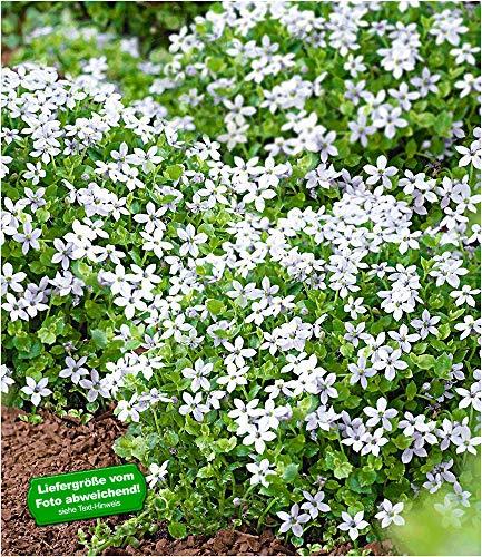 BALDUR Garten Weiße winterharte Isotoma White Splash, 3 Pflanzen blühender Bodendecker