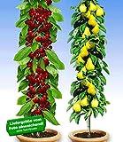 BALDUR-Garten Säulenobst-Duo'Birne & Kirsche', 2 Pflanzen Birnenbaum Kirschbaum