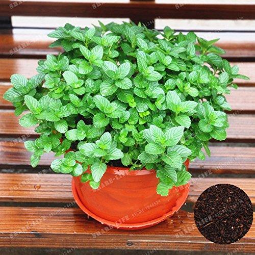 100 Pcs citron menthe Graines herbes aromatiques végétales menthe des champs Graines de plantes Bonsai herbes comestibles pour jardin Easy Grow