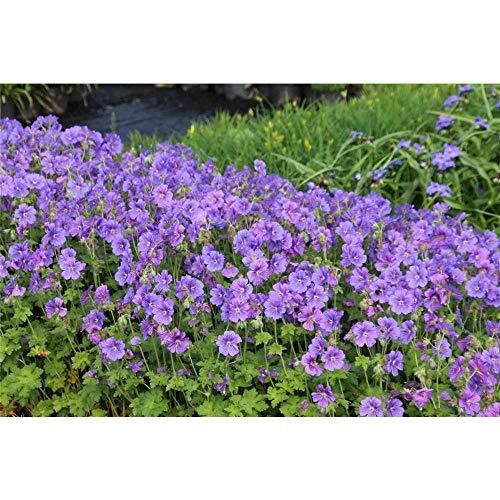 Geranium x magnificum 'Anemoniflorum' - Prächtiger Garten-Storchschnabel 'Anemoniflorum' - 9cm Topf