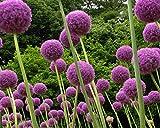 Begorey 30 Stück Riesen Zierlauch (Allium giganteum) Samen Exotic Blumenzwiebeln Saatgut winterhart mehrjährig