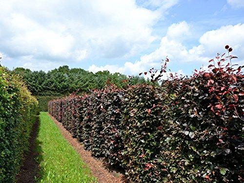 10 Stk. Blutbuche - Blutbuchenhecke Topfware 30-50 cm hoch - Fagus sylvatica Purpurea - Garten von Ehren®