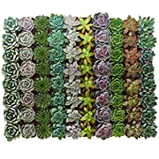 Shop Succulents | Radiant Rosette Collection of Live Succulent Plants, Hand Selected Variety Pack of Mini Succulents | Collection of 128