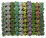 Shop Succulents   Radiant Rosette Collection of Live Succulent Plants, Hand Selected Variety Pack of Mini Succulents   Collection of 40