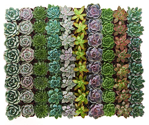 Shop Succulents Live Radiant Rosette Collection, | 32-Pack