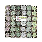 """CAL Farms 2"""" Rosettes Succulents - for Weddings, Private Parties, Gifts, Party Favors, Gardening and Special Events (Pack of 36)"""