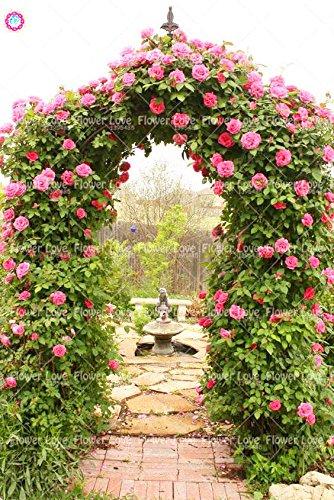 200PCS rosier grimpant Graines Rare Belle Graines de fleurs vivaces Rose chinoise Décor Plante en pot pour jardin 4